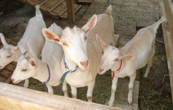 Goatita and her siblings