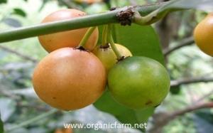 Cherry Mangosteen