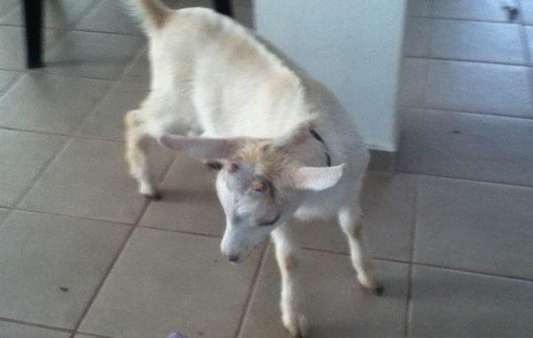 Goatita in House