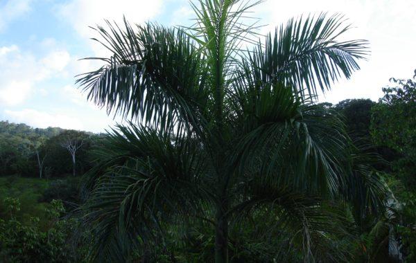 Cuban Palm